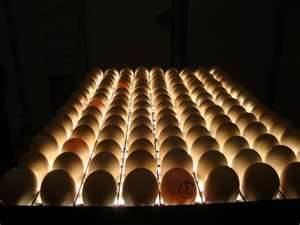 ضدعفونی تخم مرغ